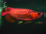 Arowana Fishes of all kinds and sizes for sale $300